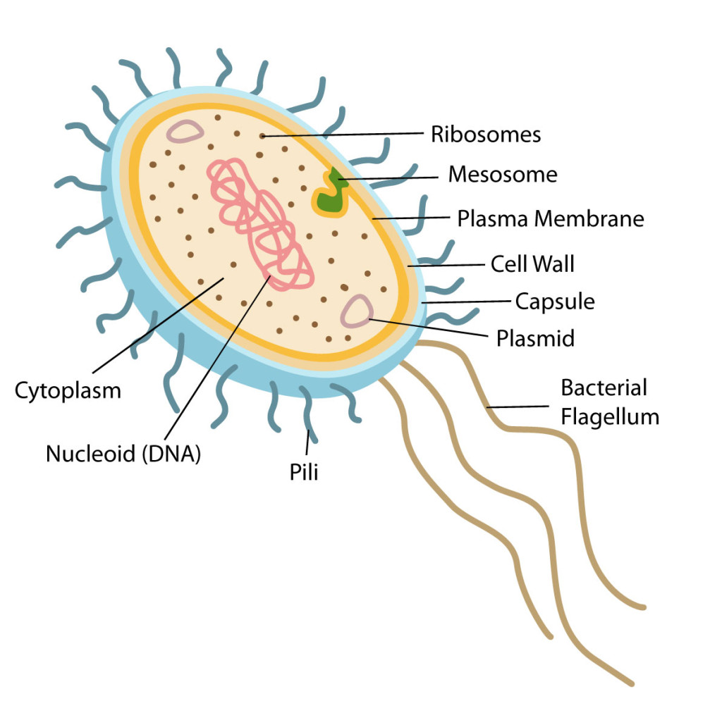 lab 2 prokaryotes canada spees lab 2 prokaryotes purpose: performing this lab will help me better understand the characteristics of prokaryotes and compare them with eukaryotes.